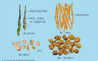 玉竹 石斛